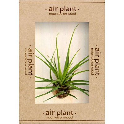 Air Plant on Mount | Melanocrater