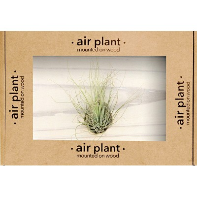 Air Plant on Mount | Argentea